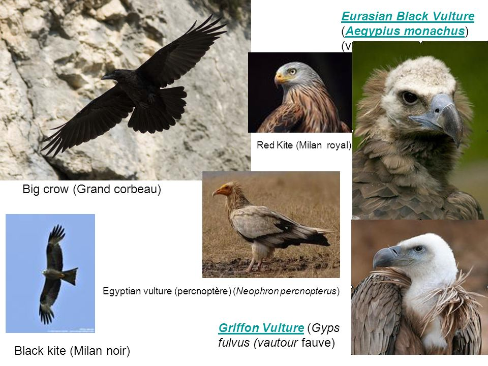 Eurasian Black Vulture Eurasian Black Vulture (Aegypius monachus) (vautour moine)Aegypius monachus Black kite (Milan noir) Red Kite (Milan royal) Griffon VultureGriffon Vulture (Gyps fulvus (vautour fauve) Egyptian vulture (percnoptère) (Neophron percnopterus) Big crow (Grand corbeau)