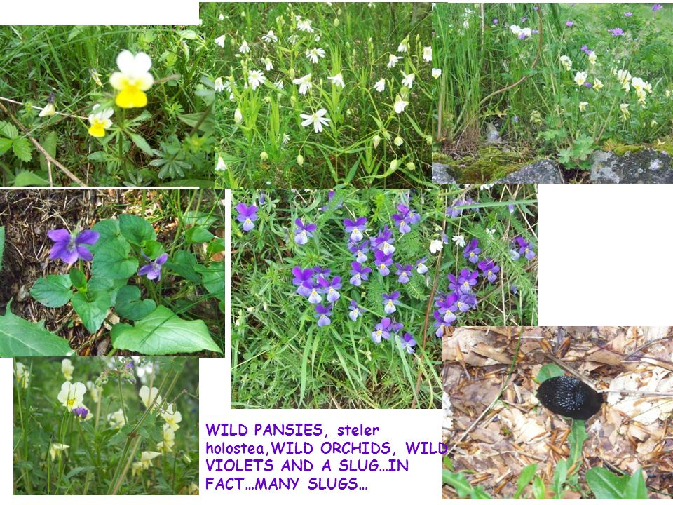 WILD PANSIES, steler holostea,WILD ORCHIDS, WILD VIOLETS AND A SLUG…IN FACT…MANY SLUGS…