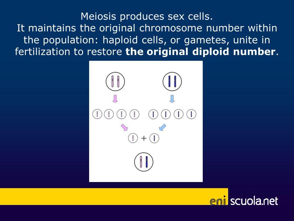 Meiosis produces sex cells.