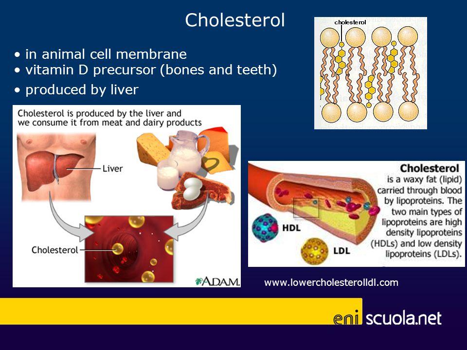 Cholesterol www.lowercholesterolldl.com in animal cell membrane vitamin D precursor (bones and teeth) produced by liver