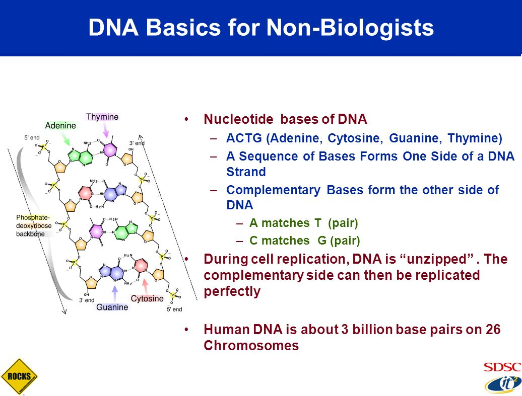 DNA Basics for Non-Biologists Nucleotide bases of DNA –ACTG (Adenine, Cytosine, Guanine, Thymine) –A Sequence of Bases Forms One Side of a DNA Strand