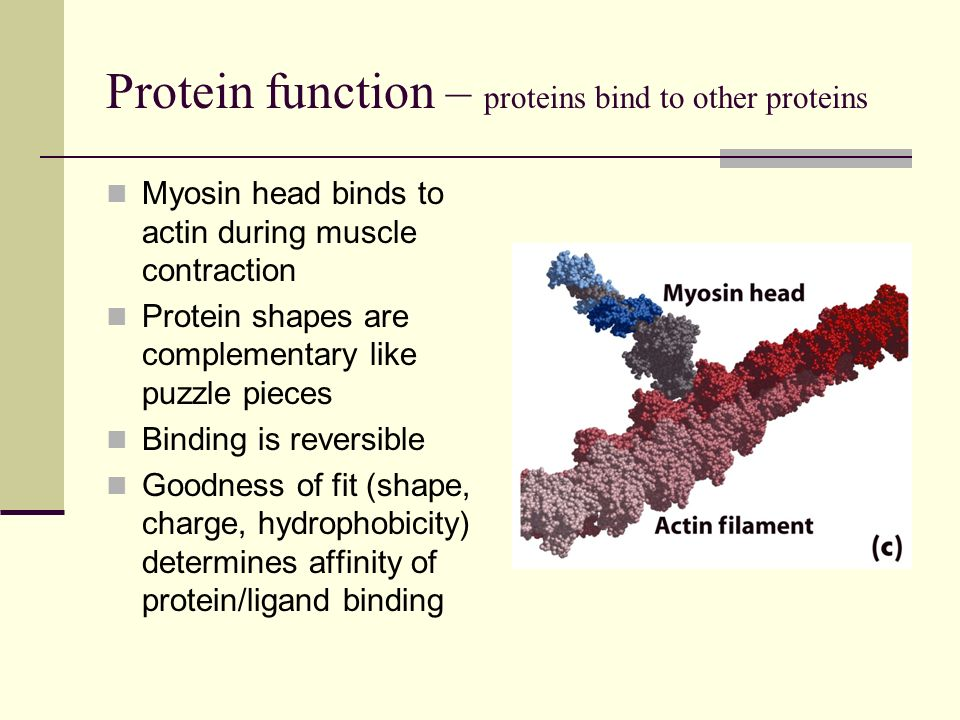 Protein function – changes in shape are essential to protein function Proteins are dynamic machines Two or a few protein conformations may be of similar stability Ligand binding can act as a switch to change protein conformation Induced fit: binding of glucose (red) to hexokinase changes enzyme conformation