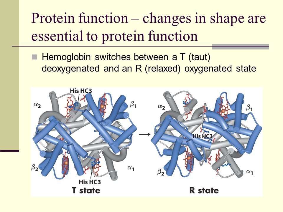 Protein function – changes in shape are essential to protein function Binding of lactose to the lactose transport protein changes the shape of the protein.