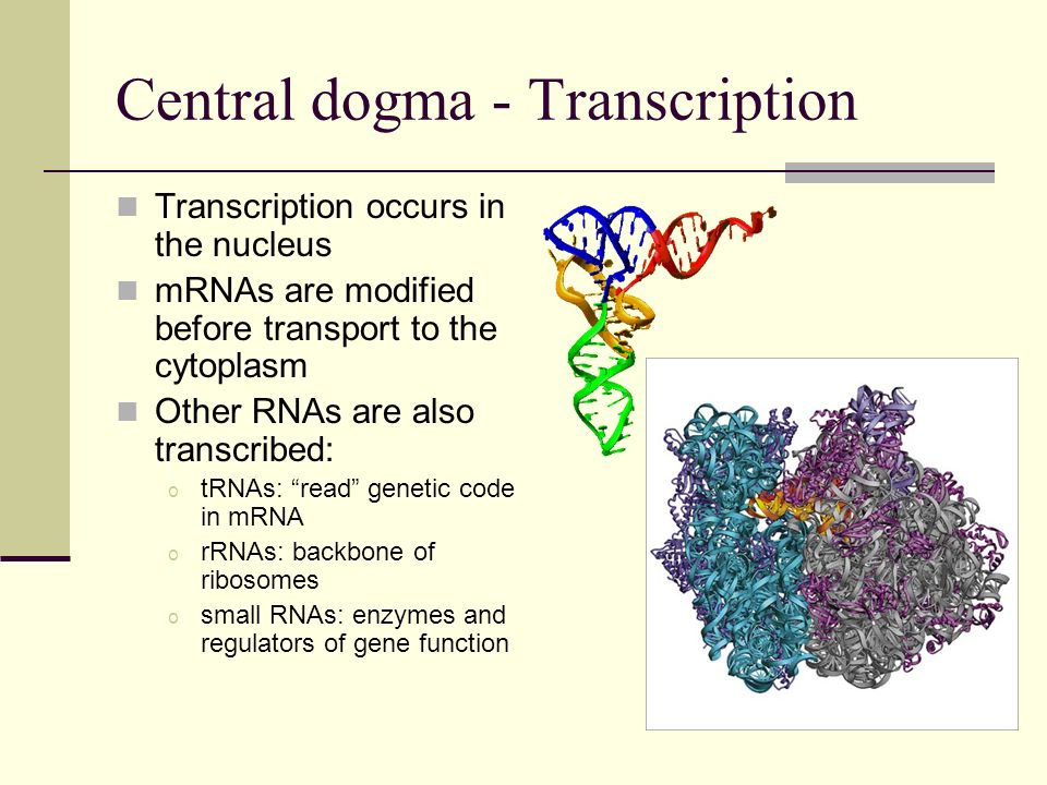 Central dogma - Translation Translation occurs in the cytoplasm on ribosomes tRNAs match the correct amino acids to codons on the mRNA Ribosomal enzymes join amino acids to the growing polypeptide The emerging polypeptide folds
