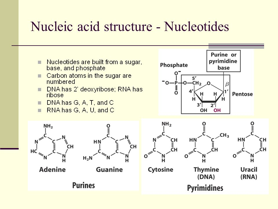 Nucleic acid structure - Polynucleotides The 5 phosphate of one nucleotide is joined to the 3 hydroxyl group of the preceding nucleotide The beginning of a nucleic acid has a free 5 phosphate group The end of a nucleic acid has a free 3 hydroxyl group