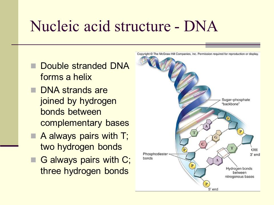 Nucleic acid structure - DNA Each DNA strand serves as a template for replication or repair of the other strand, and for RNA synthesis
