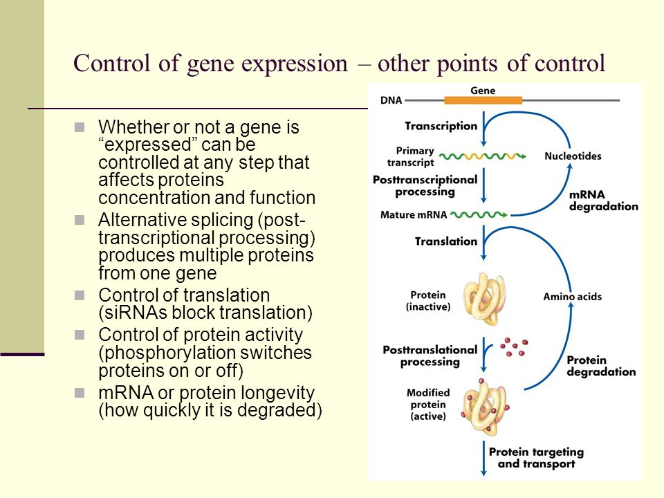 Control of gene expression – other points of control Whether or not a gene is expressed can be controlled at any step that affects proteins concentrat
