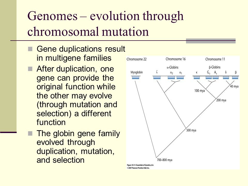 Genomes – evolution through chromosomal mutation - and -globin genes vary in amino acid sequence, yet share the same conformation Sequence differences are fairly conservative