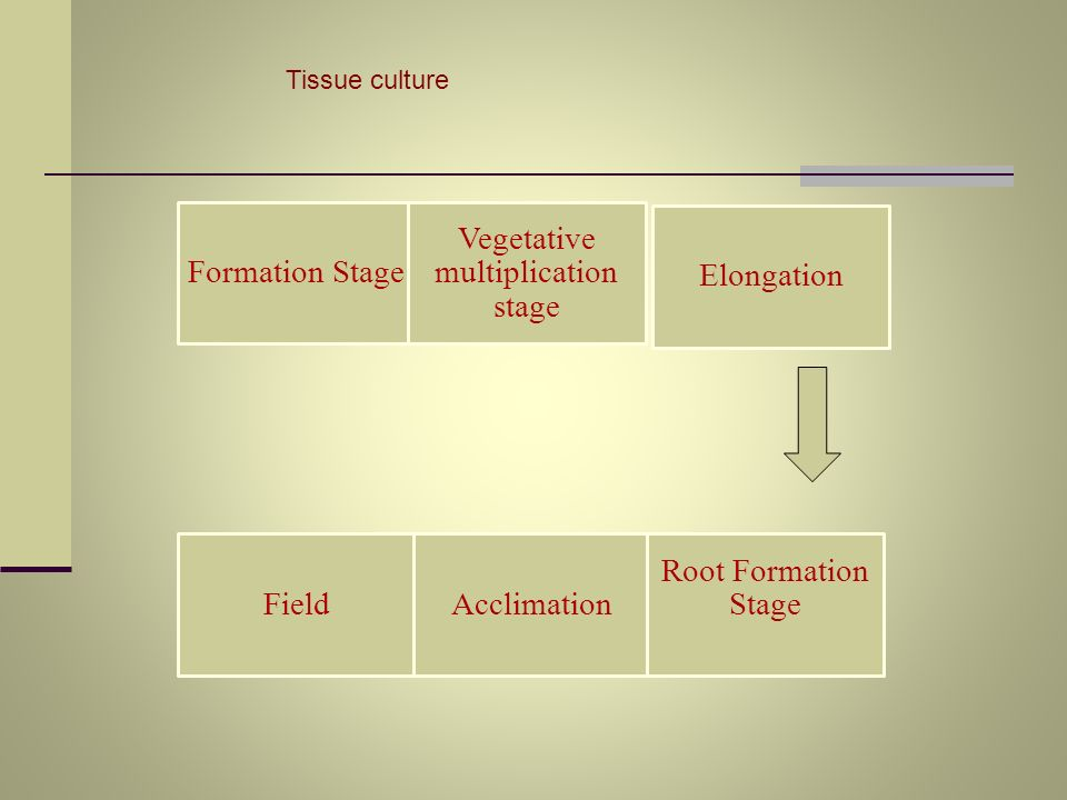 Tissue culture Formation Stage Vegetative multiplication stage FieldAcclimation Root Formation Stage Elongation