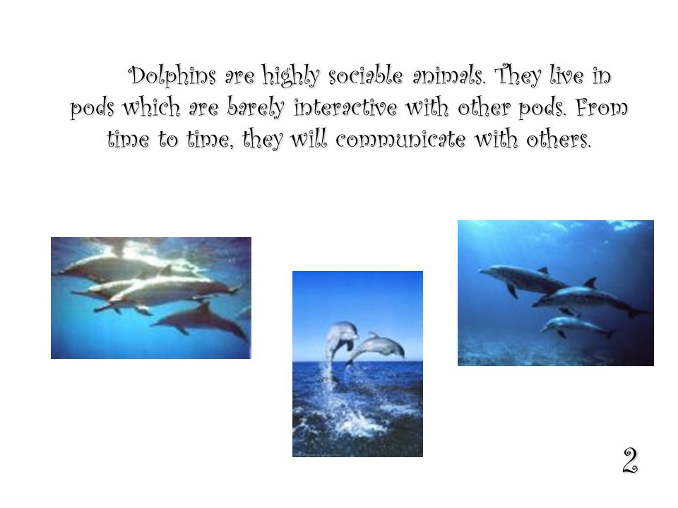 2 Dolphins are highly sociable animals. They live in pods which are barely interactive with other pods. From time to time, they will communicate with