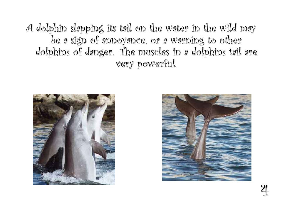 4 A dolphin slapping its tail on the water in the wild may be a sign of annoyance, or a warning to other dolphins of danger.The muscles in a dolphins tail are very powerful.