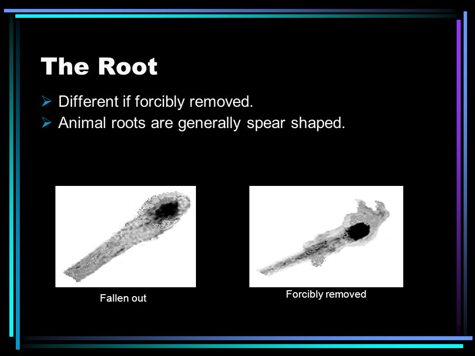 The Root Different if forcibly removed. Animal roots are generally spear shaped. Fallen out Forcibly removed