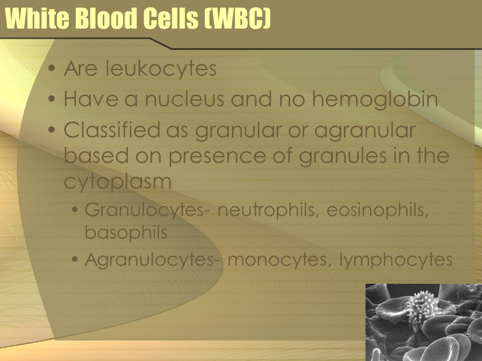 White Blood Cells (WBC) Are leukocytes Have a nucleus and no hemoglobin Classified as granular or agranular based on presence of granules in the cytop