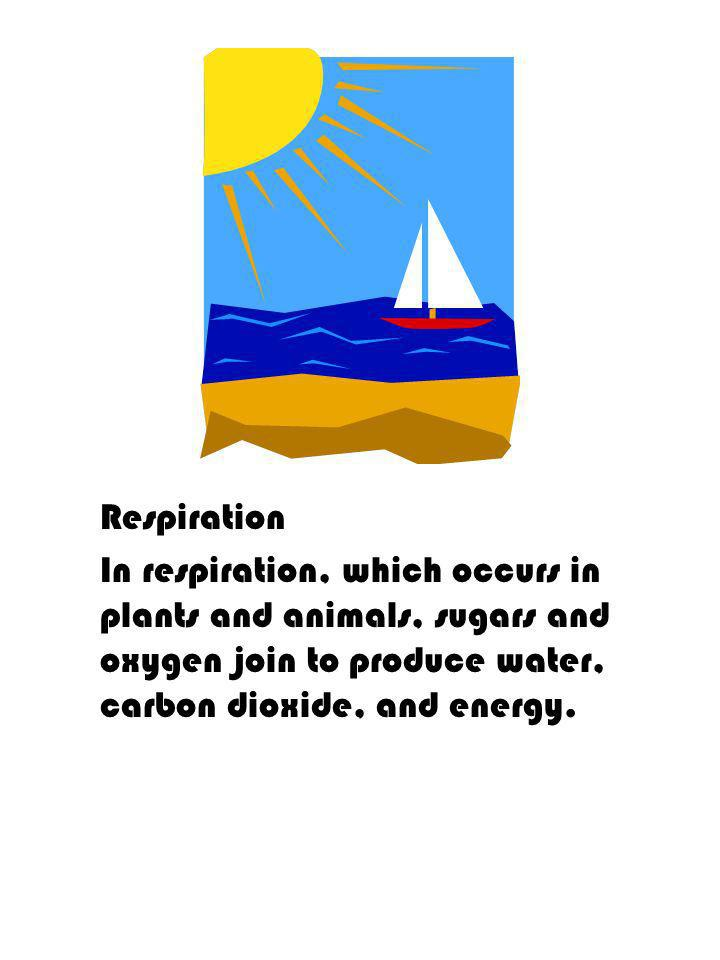 Respiration In respiration, which occurs in plants and animals, sugars and oxygen join to produce water, carbon dioxide, and energy.