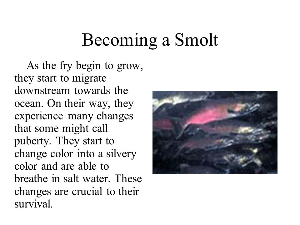 Becoming a Smolt As the fry begin to grow, they start to migrate downstream towards the ocean. On their way, they experience many changes that some mi