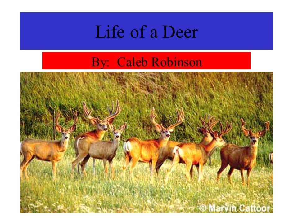 Life of a Deer By: Caleb Robinson