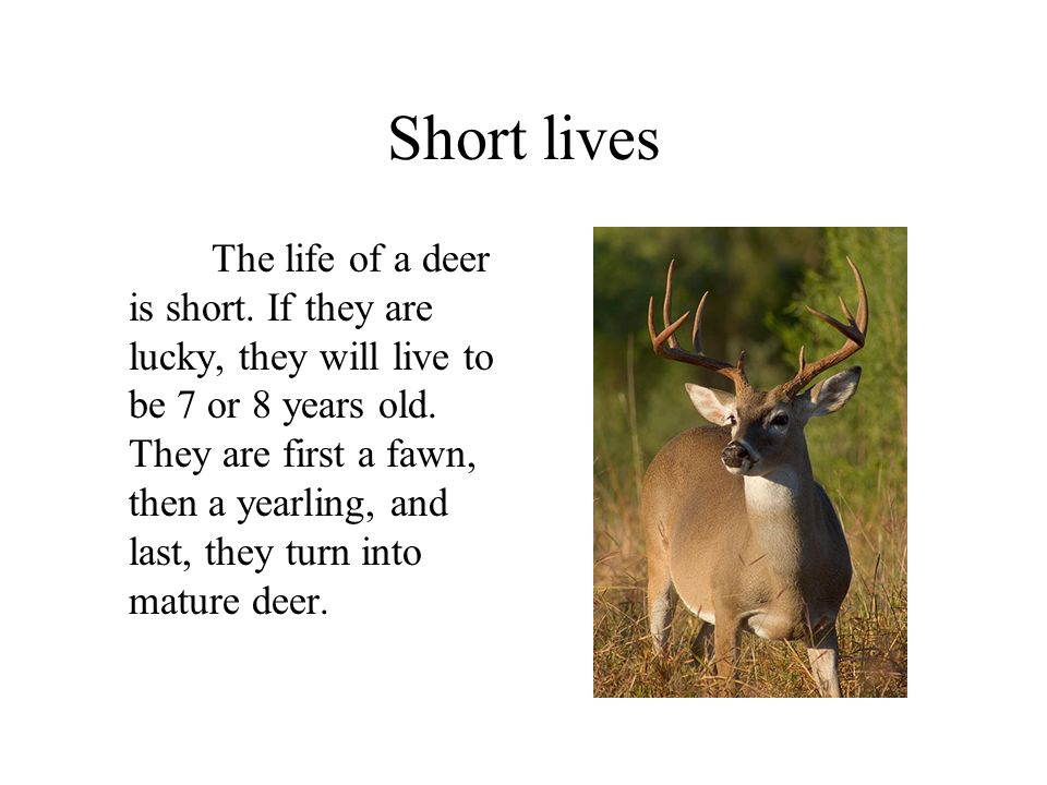 Short lives The life of a deer is short. If they are lucky, they will live to be 7 or 8 years old. They are first a fawn, then a yearling, and last, t