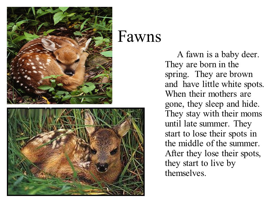 Fawns A fawn is a baby deer. They are born in the spring. They are brown and have little white spots. When their mothers are gone, they sleep and hide
