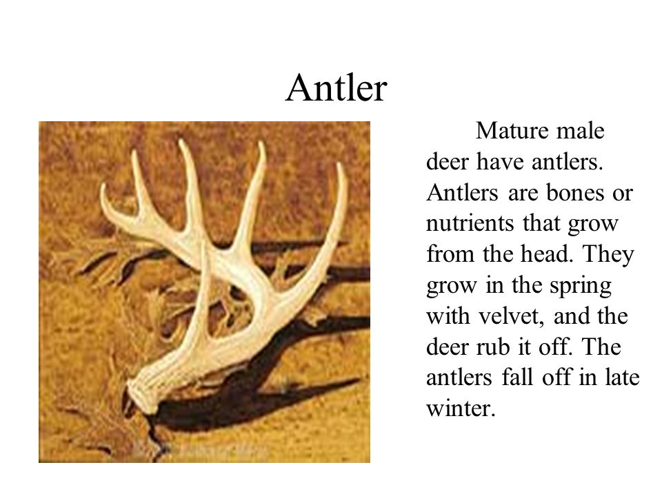 Antler Mature male deer have antlers. Antlers are bones or nutrients that grow from the head.