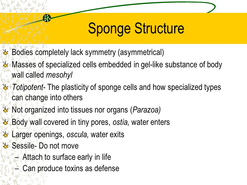 Sponge Structure Bodies completely lack symmetry (asymmetrical) Masses of specialized cells embedded in gel-like substance of body wall called mesohyl