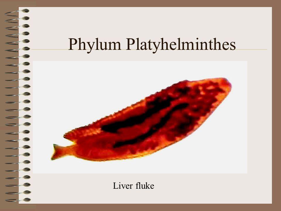 Phylum Platyhelminthes Liver fluke