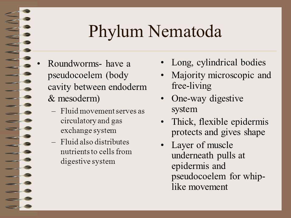 Phylum Nematoda pseudocoelemRoundworms- have a pseudocoelem (body cavity between endoderm & mesoderm) –Fluid movement serves as circulatory and gas ex
