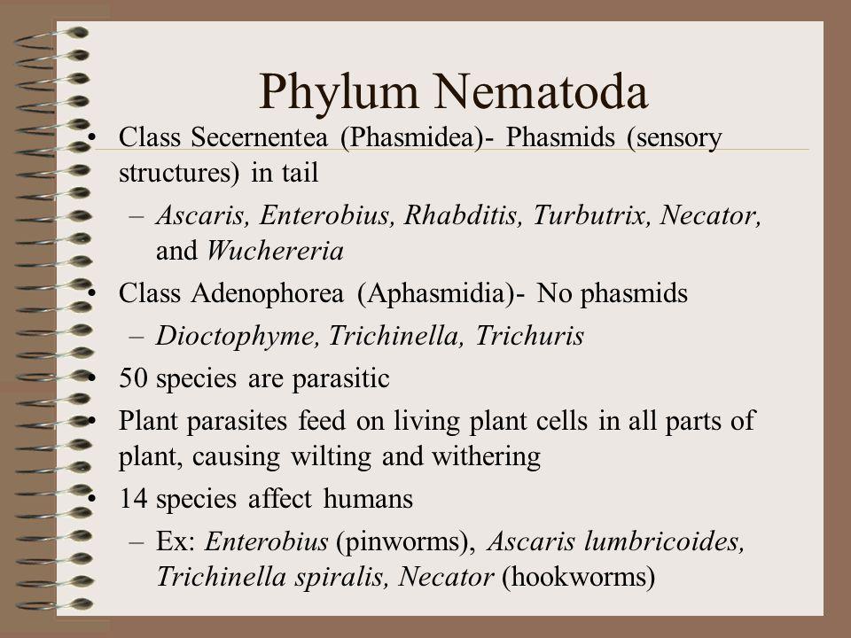 Phylum Nematoda Class Secernentea (Phasmidea)- Phasmids (sensory structures) in tail –Ascaris, Enterobius, Rhabditis, Turbutrix, Necator, and Wucherer