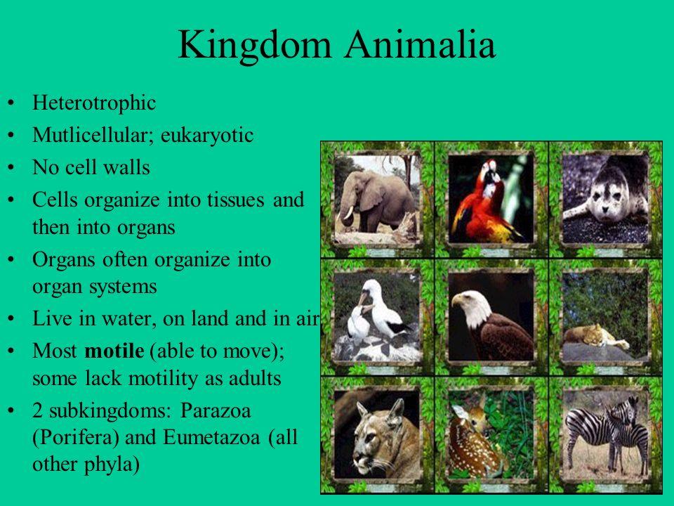 Kingdom Animalia Heterotrophic Mutlicellular; eukaryotic No cell walls Cells organize into tissues and then into organs Organs often organize into org