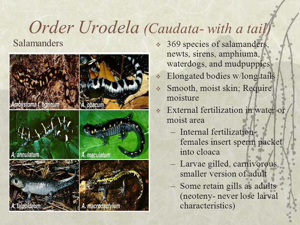 Order Urodela (Caudata- with a tail) 369 species of salamanders, newts, sirens, amphiuma, waterdogs, and mudpuppies Elongated bodies w/long tails Smoo