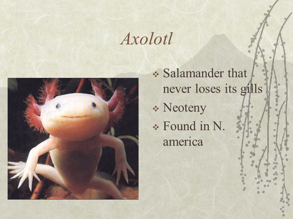 Axolotl Salamander that never loses its gills Neoteny Found in N. america