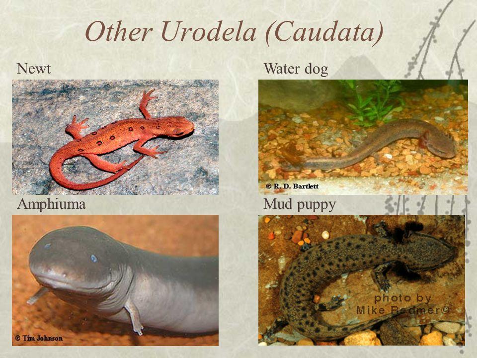 Other Urodela (Caudata) Newt Amphiuma Water dog Mud puppy