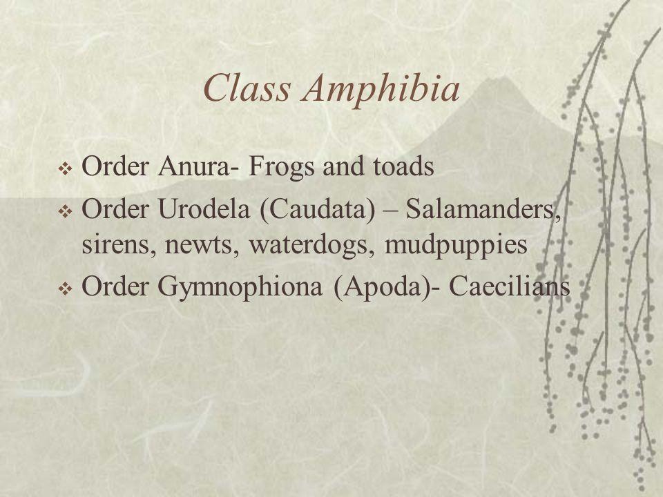 Class Amphibia Order Anura- Frogs and toads Order Urodela (Caudata) – Salamanders, sirens, newts, waterdogs, mudpuppies Order Gymnophiona (Apoda)- Cae