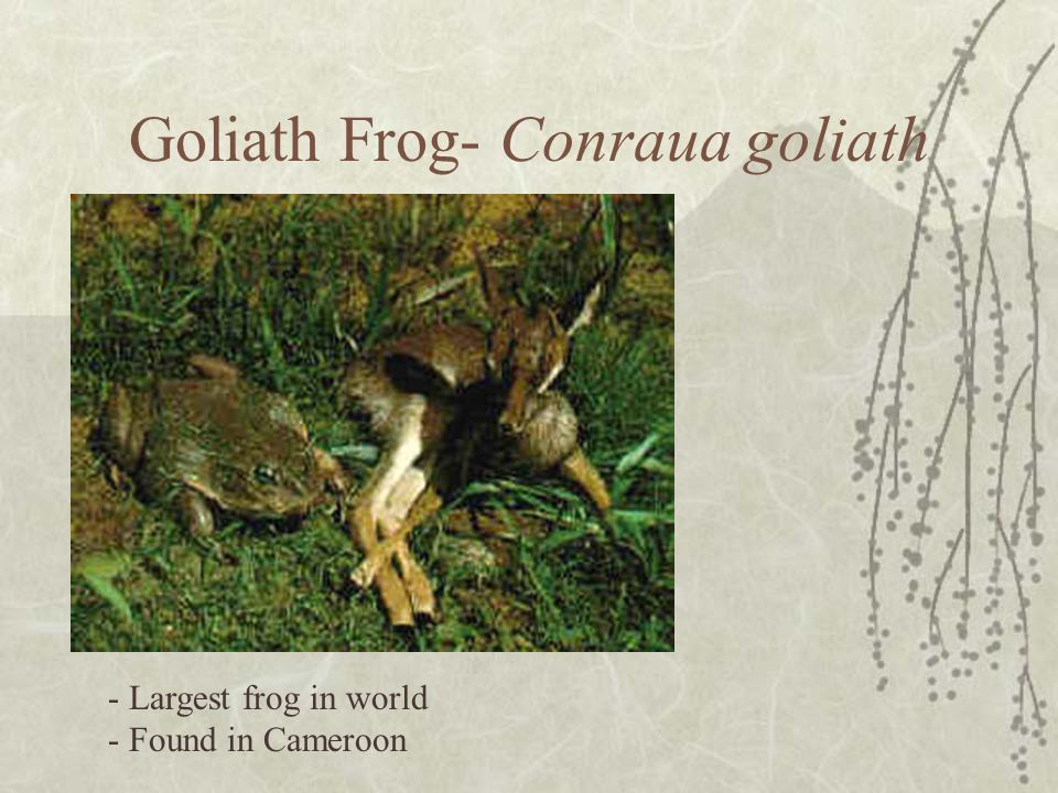Goliath Frog- Conraua goliath - Largest frog in world - Found in Cameroon