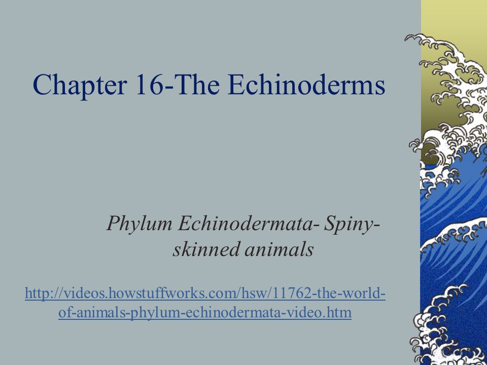 Chapter 16-The Echinoderms Phylum Echinodermata- Spiny- skinned animals http://videos.howstuffworks.com/hsw/11762-the-world- of-animals-phylum-echinod