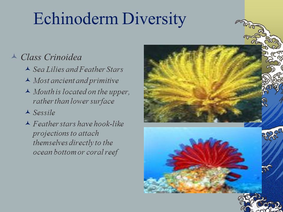 Echinoderm Diversity Class Crinoidea Sea Lilies and Feather Stars Most ancient and primitive Mouth is located on the upper, rather than lower surface