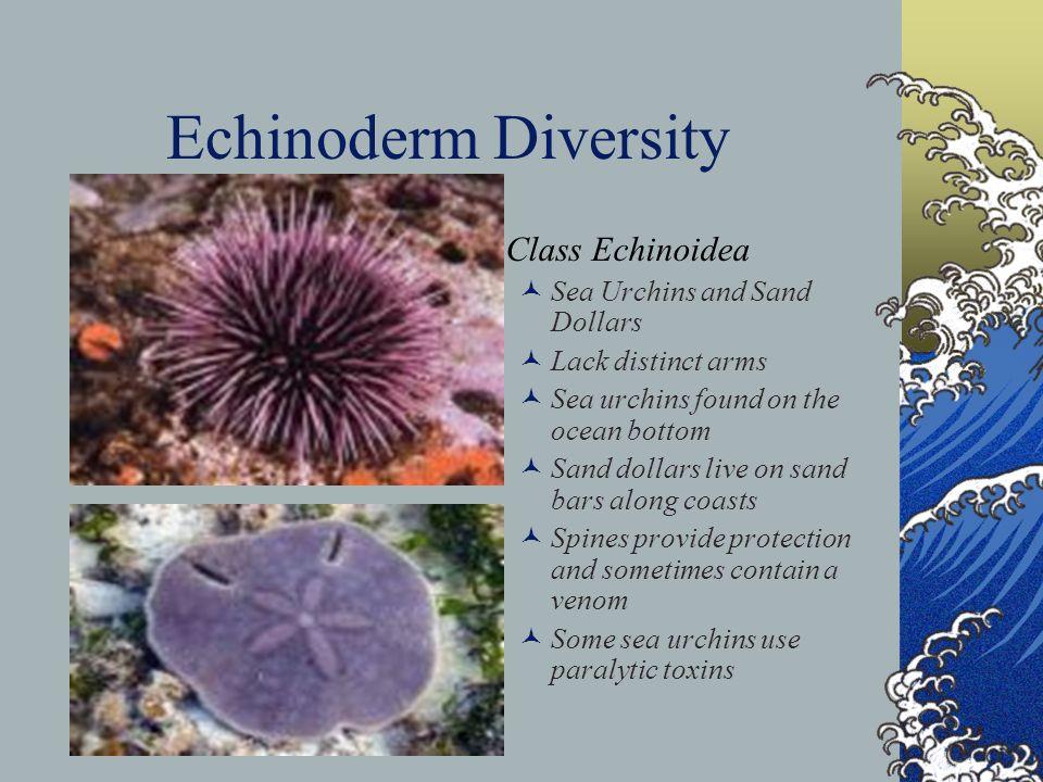 Echinoderm Diversity Class Echinoidea Sea Urchins and Sand Dollars Lack distinct arms Sea urchins found on the ocean bottom Sand dollars live on sand
