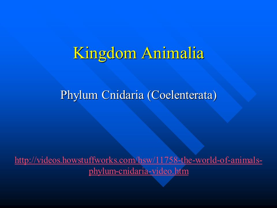 Kingdom Animalia Phylum Cnidaria (Coelenterata) http://videos.howstuffworks.com/hsw/11758-the-world-of-animals- phylum-cnidaria-video.htm