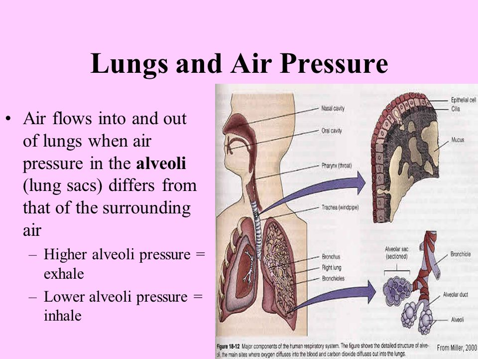 Lungs and Air Pressure Air flows into and out of lungs when air pressure in the alveoli (lung sacs) differs from that of the surrounding air –Higher alveoli pressure = exhale –Lower alveoli pressure = inhale