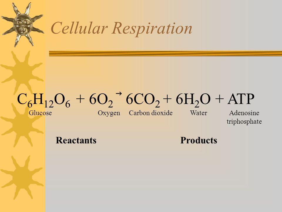 Cellular Respiration C 6 H 12 O 6 + 6O 2 6CO 2 + 6H 2 O + ATP Glucose Oxygen Carbon dioxide Water Adenosine triphosphate Reactants Products