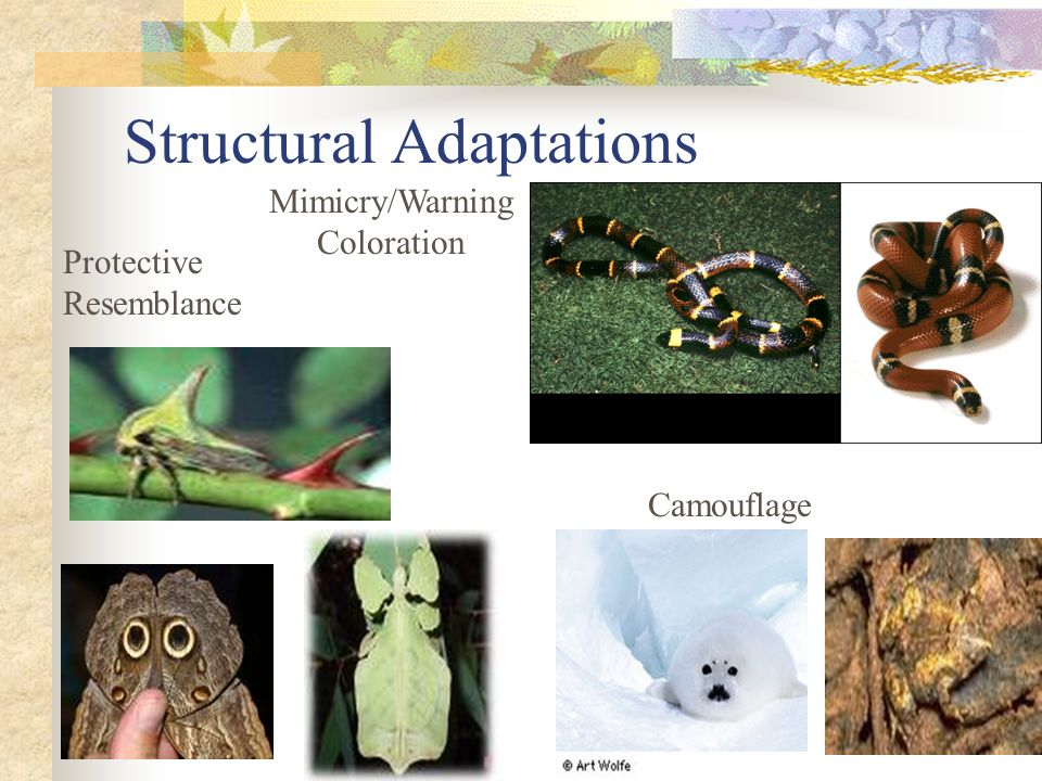Structural Adaptations Protective Resemblance Mimicry/Warning Coloration Camouflage