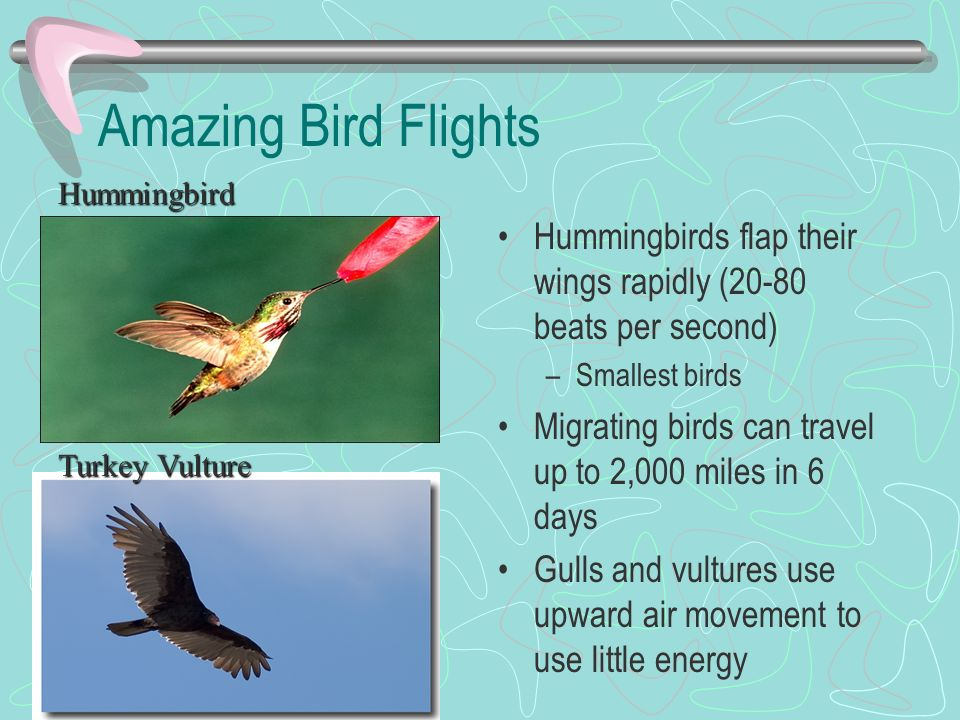 Amazing Bird Flights Hummingbirds flap their wings rapidly (20-80 beats per second) –Smallest birds Migrating birds can travel up to 2,000 miles in 6