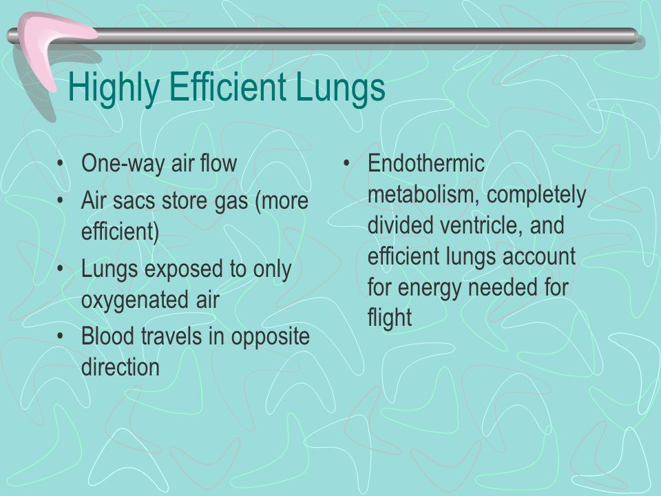 Highly Efficient Lungs One-way air flow Air sacs store gas (more efficient) Lungs exposed to only oxygenated air Blood travels in opposite direction E