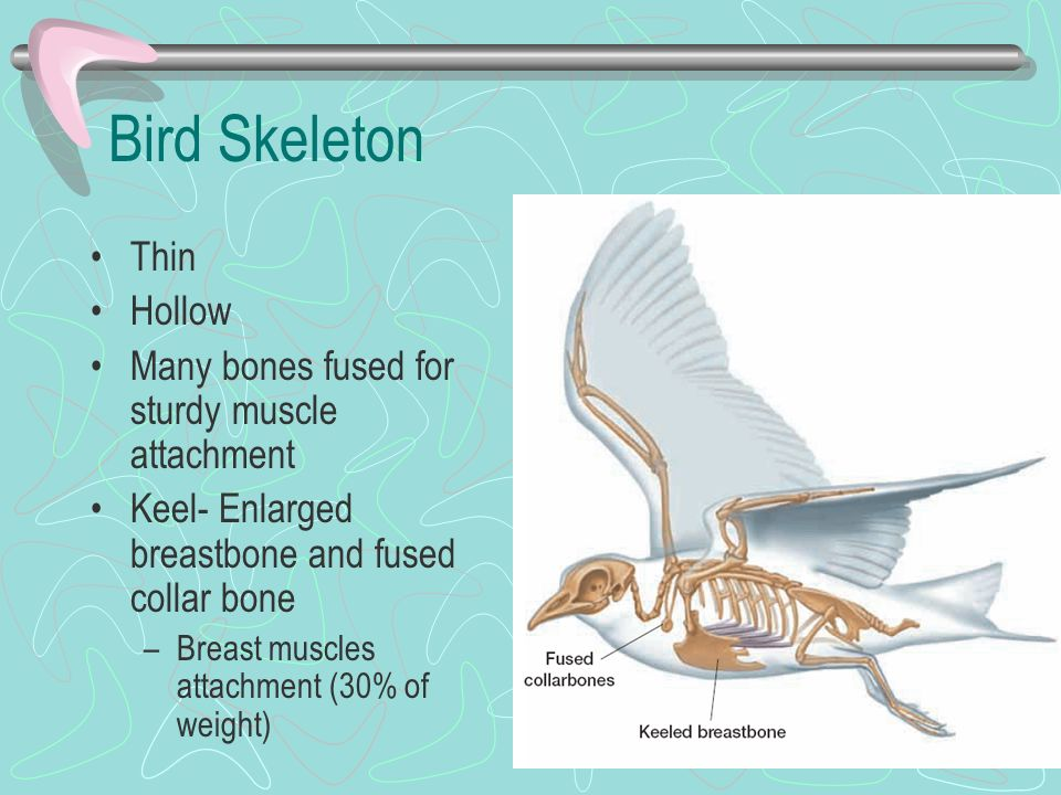 Bird Skeleton Thin Hollow Many bones fused for sturdy muscle attachment Keel- Enlarged breastbone and fused collar bone –Breast muscles attachment (30