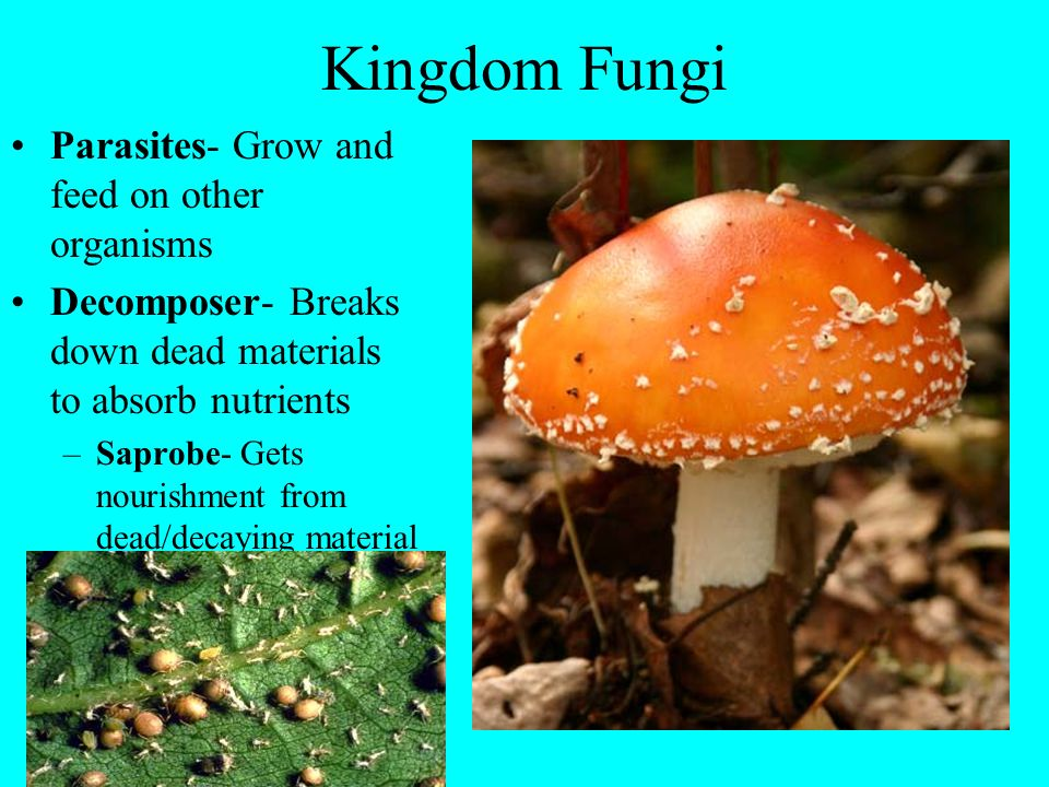 Kingdom Fungi Parasites- Grow and feed on other organisms Decomposer- Breaks down dead materials to absorb nutrients –Saprobe- Gets nourishment from d