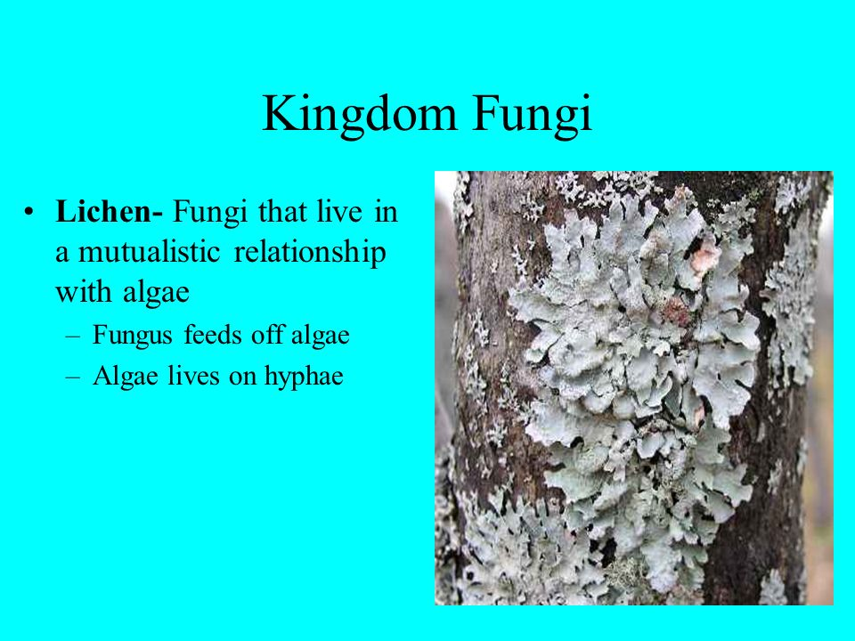 Kingdom Fungi Lichen- Fungi that live in a mutualistic relationship with algae –Fungus feeds off algae –Algae lives on hyphae