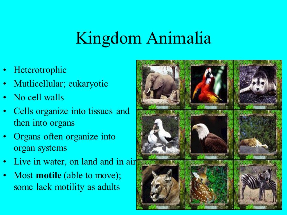Kingdom Animalia Heterotrophic Mutlicellular; eukaryotic No cell walls Cells organize into tissues and then into organs Organs often organize into org