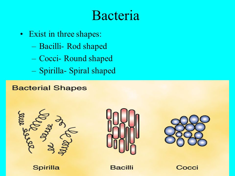 Bacteria Exist in three shapes: –Bacilli- Rod shaped –Cocci- Round shaped –Spirilla- Spiral shaped
