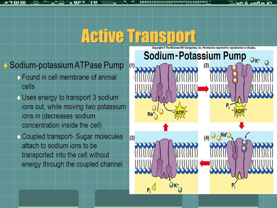 Active Transport Sodium-potassium ATPase Pump Found in cell membrane of animal cells Uses energy to transport 3 sodium ions out, while moving two pota