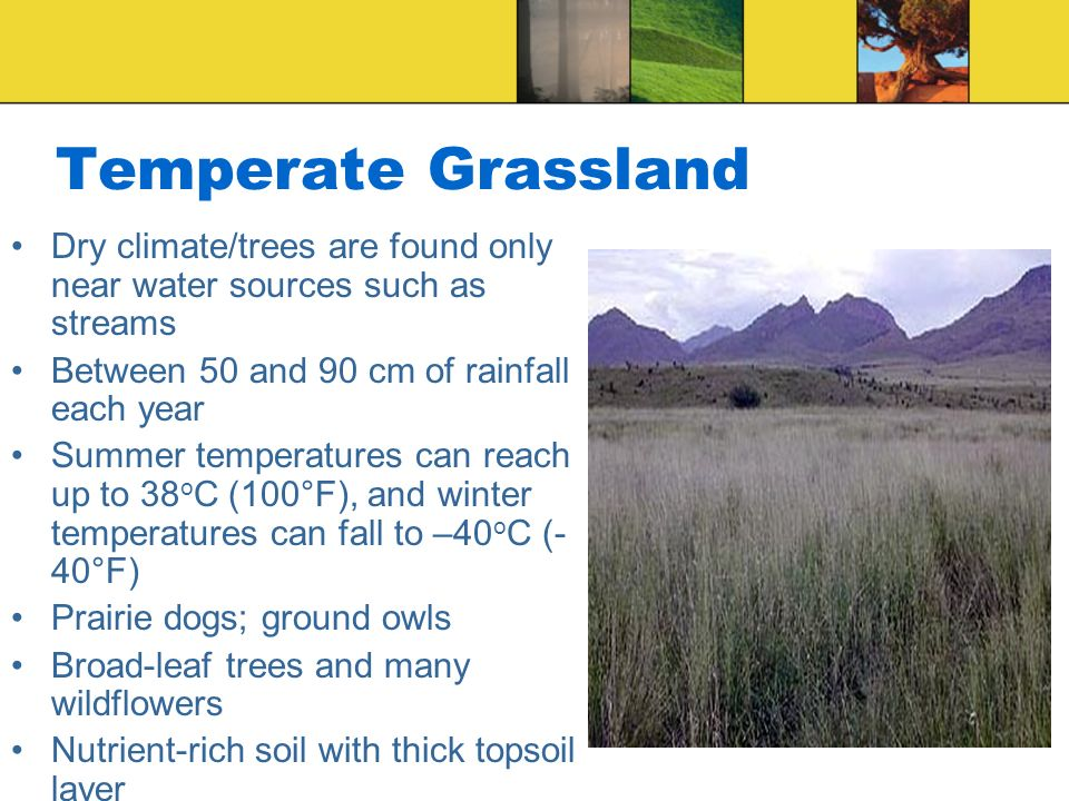 Temperate Grassland Dry climate/trees are found only near water sources such as streams Between 50 and 90 cm of rainfall each year Summer temperatures