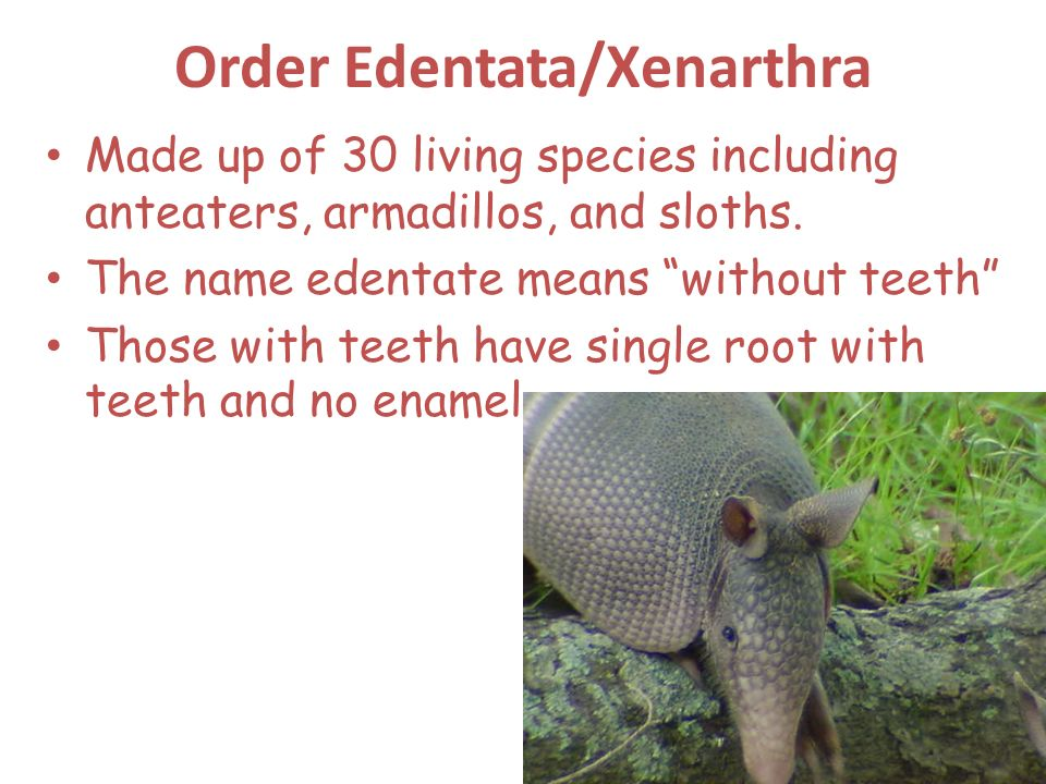 Order Edentata/Xenarthra Made up of 30 living species including anteaters, armadillos, and sloths. The name edentate means without teeth Those with te